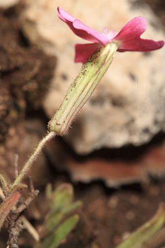 Silene psammitis subsp. lasiostyla (Boiss.) Rivas Goday