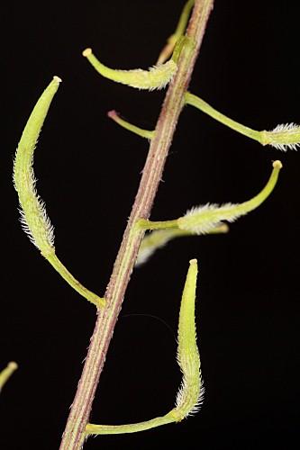 Sinapis alba L.