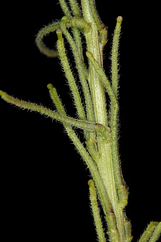 Sisymbrium runcinatum Lag. ex DC.