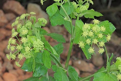 Smyrnium olusatrum L.