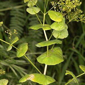 Smyrnium perfoliatum L.