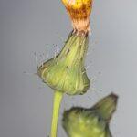 Sonchus oleraceus L.