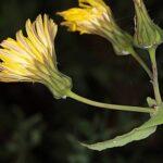 Sonchus tenerrimus L.