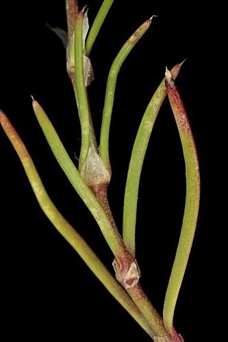 Spergularia purpurea (Pers.) G. Don fil.