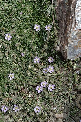 Spergularia rubra var. alpina (Boiss.) Willk. in Willk. & Lange
