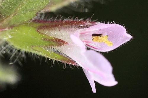 Stachys arvensis (L.) L.