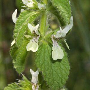 Stachys ocymastrum (L.) Briq.