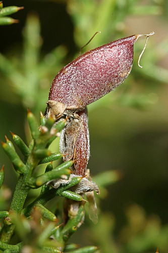 Stauracanthus boivinii (Webb) Samp.