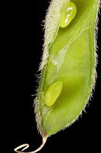 Stauracanthus genistoides (Brot.) Samp.