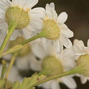 Tanacetum parthenium (L.) Sch. Bip.