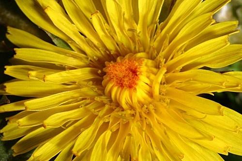 Taraxacum nevadense H. Lindb. fil