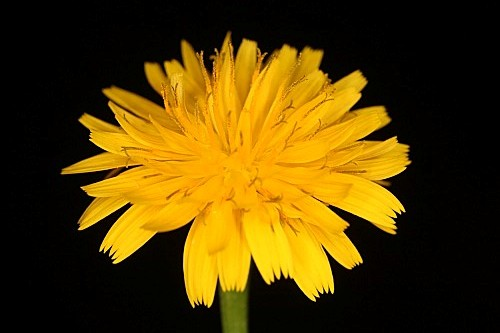 Taraxacum obovatum (Willd.) DC.