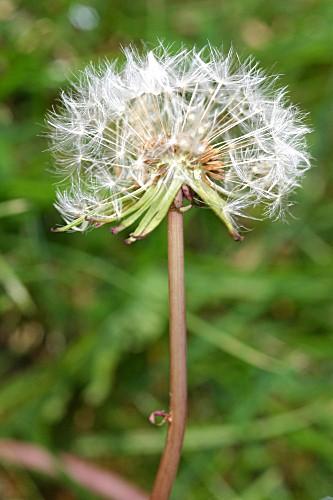 Taraxacum vulgare (Lam.) Schrank