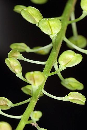 Teesdalia coronopifolia (J. P. Bergeret) Thell.