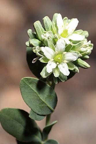 Telephium imperati subsp. imperati L.