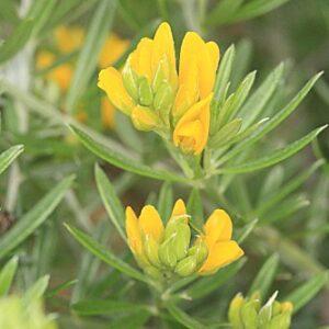 Teline linifolia (L.) Webb