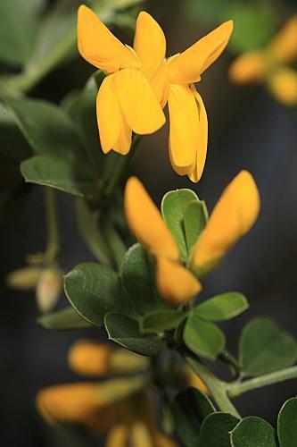 Teline monspessulana (L.) C. Koch