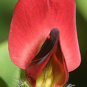Tetragonolobus purpureus Moench