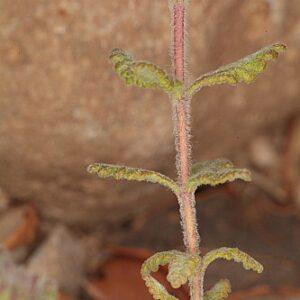 Teucrium chrysotrichum Lange