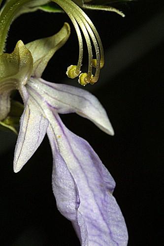Teucrium fruticans L.