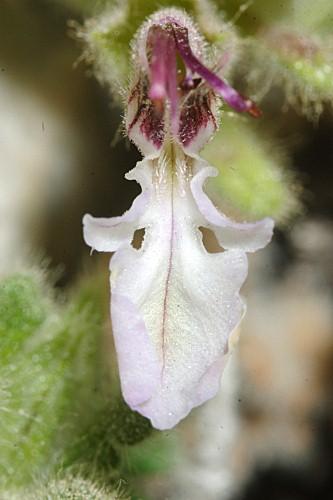 Teucrium rotundifolium Schreb.