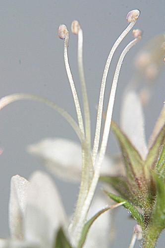 Teucrium pseudochamaepitys L.