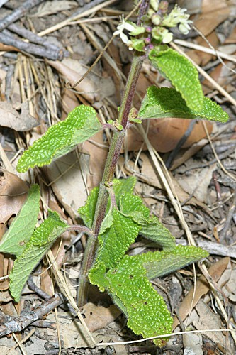 Teucrium scorodonia L.