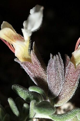 Teucrium webbianum Boiss.