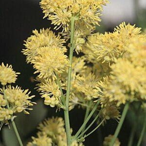 Thalictrum speciosissimum L.