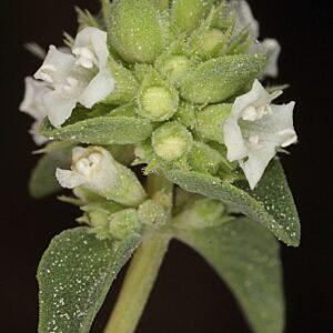 Thymus albicans Hoffmanns. & Link