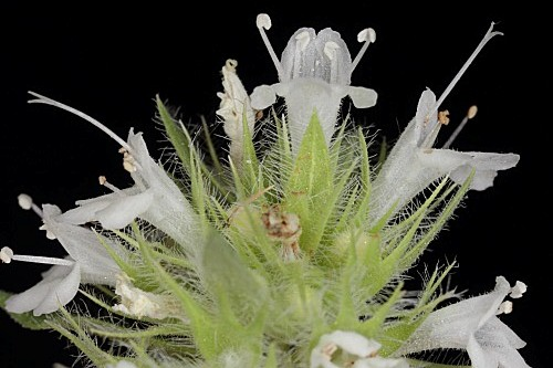 Thymus baeticus Lacaita