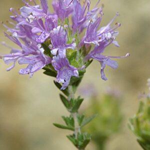 Thymbra capitata (L.) Cav.