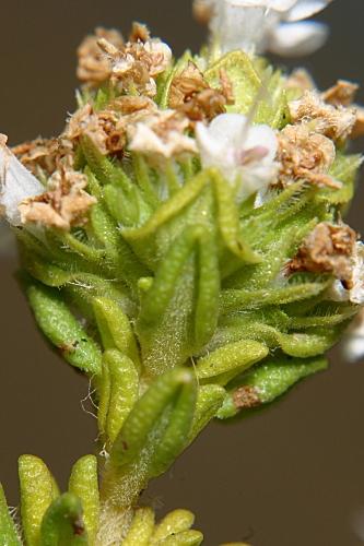 Thymus carnosus Boiss.
