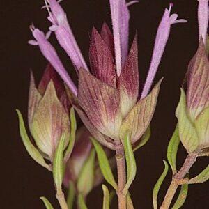 Thymus longiflorus Boiss.