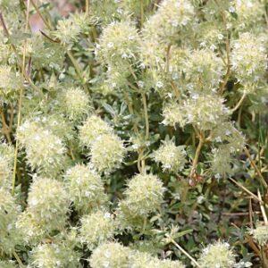 Thymus mastichina (L.) L.