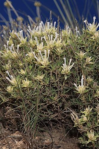 Thymus membranaceus Boiss.