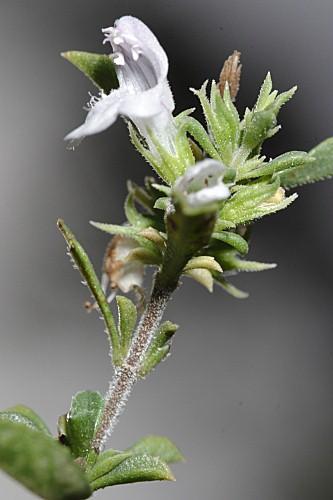Thymus orospedanus Huguet del Villar