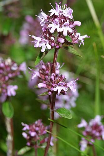 Thymus praecox subsp. britannicus (Ronniger) Holub