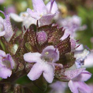 Thymus serpylloides Bory
