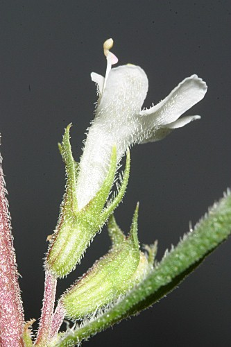 Thymus serpylloides subsp. gadorensis (Pau) Jalas