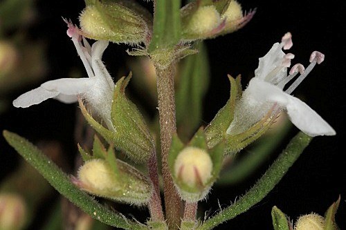 Thymus vulgaris L.