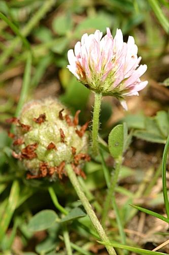 Trifolium fragiferum L.