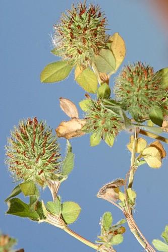 Trifolium lappaceum L.