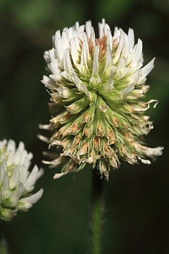 Trifolium montanum L.