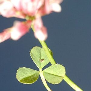 Trifolium repens var. nevadense (Boiss.) C. Vicioso