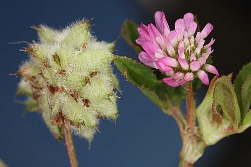 Trifolium resupinatum L.