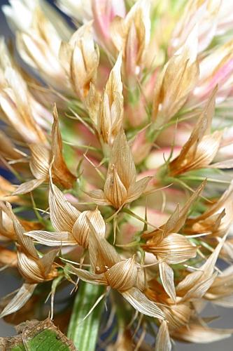 Trifolium vessiculosum Savi