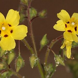 Xolantha brevipes (Boiss. & Reut.) Gallego, Muñoz Garm. & C. Navarro