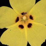 Xolantha guttata (L.) Raf.
