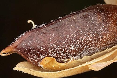 Ulex australis Clemente